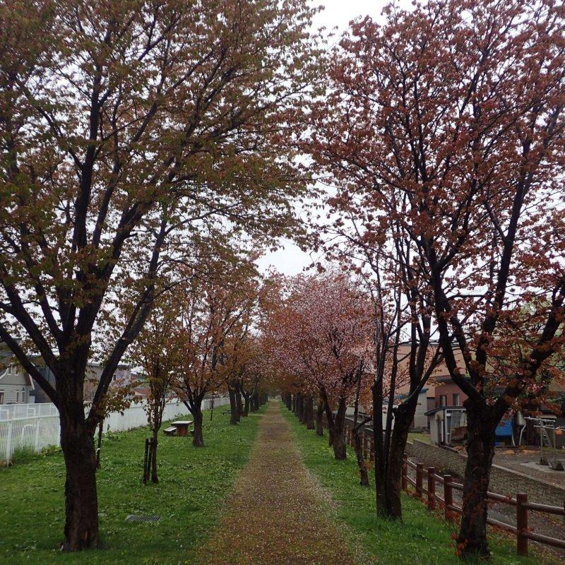 Image of 岩見沢市北3条西13丁目の桜並木の保育活動について 1
