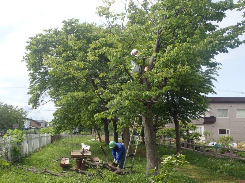 Image of 岩見沢市北3条西13丁目の桜並木の保育活動について 2