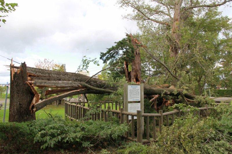 Image of 北海道当別町開拓記念樹イチイへの「協働」での保全作業 2