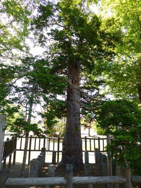 Image of 北海道当別町開拓記念樹イチイへの「協働」での保全作業 1
