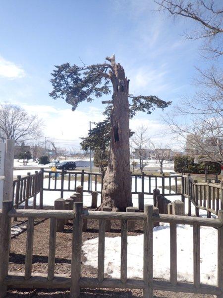 Image of 北海道当別町開拓記念樹イチイへの「協働」での保全作業・その2 2