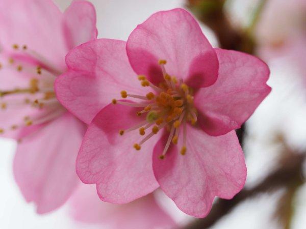 Image of 砂川ロータリークラブ例会での桜に関する卓話 4