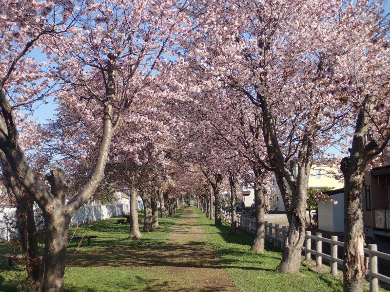 Image of 岩見沢市北3条西13丁目の桜並木の保育 1