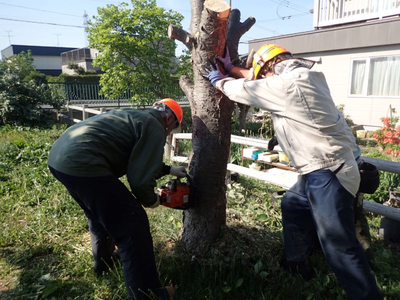 Image of 岩見沢市北3条西13丁目の桜並木の保育 3