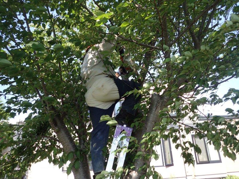 Image of 岩見沢市北3条西13丁目の桜並木の保育 2