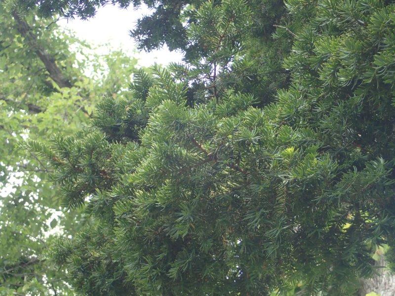 Image of 北海道当別町開拓記念樹イチイにおける「協働」での保全作業・その3 1