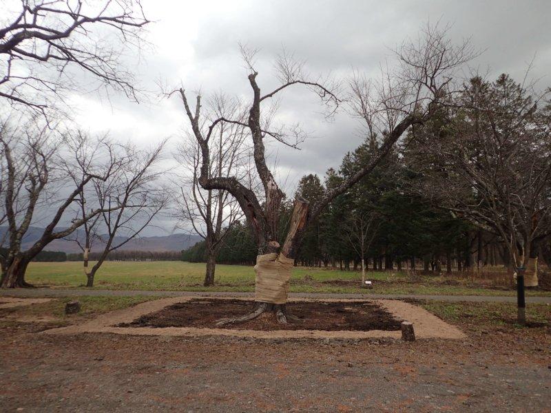 Image of 新ひだか町・二十間道路桜並木の樹勢回復措置 12