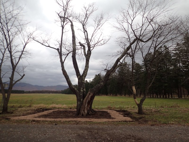 Image of 新ひだか町・二十間道路桜並木の樹勢回復措置 14