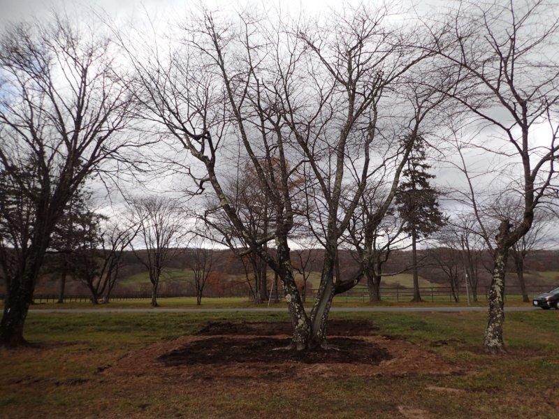 Image of 新ひだか町・二十間道路桜並木の樹勢回復措置 15