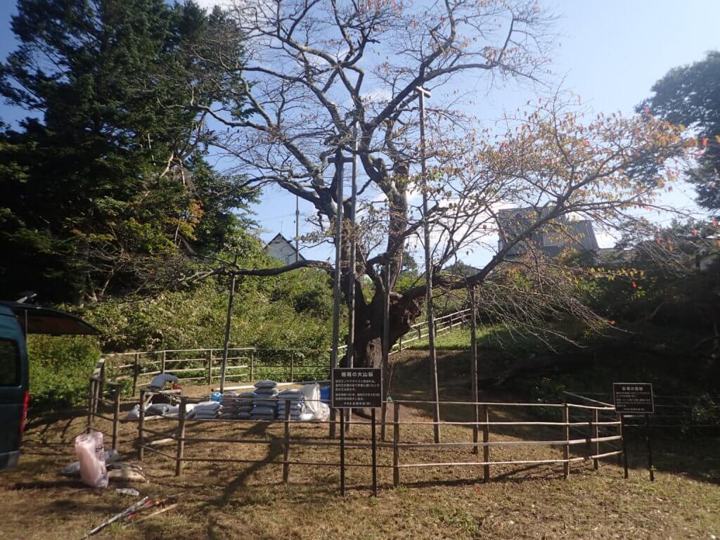 樹勢回復措置(土壌改良)前の「幌萌の大桜」の状況