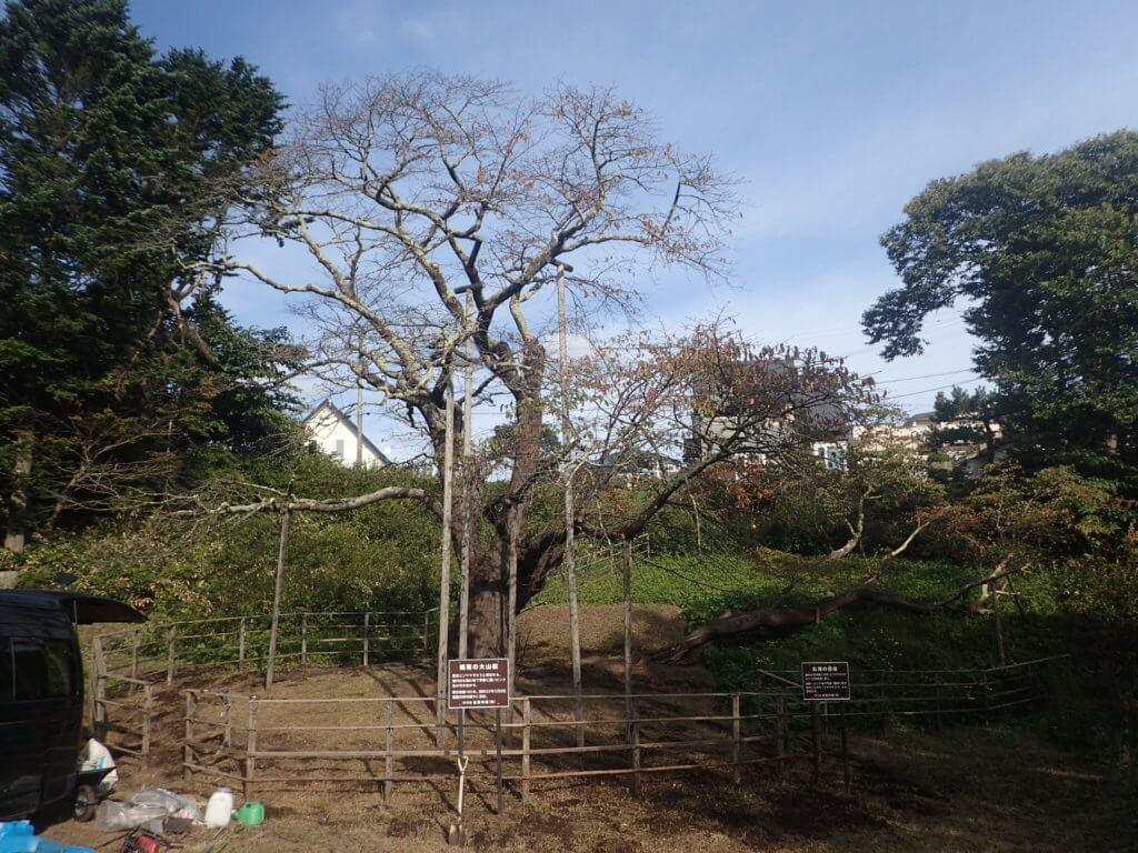 樹勢回復措置(土壌改良)後の「幌萌の大桜」の状況