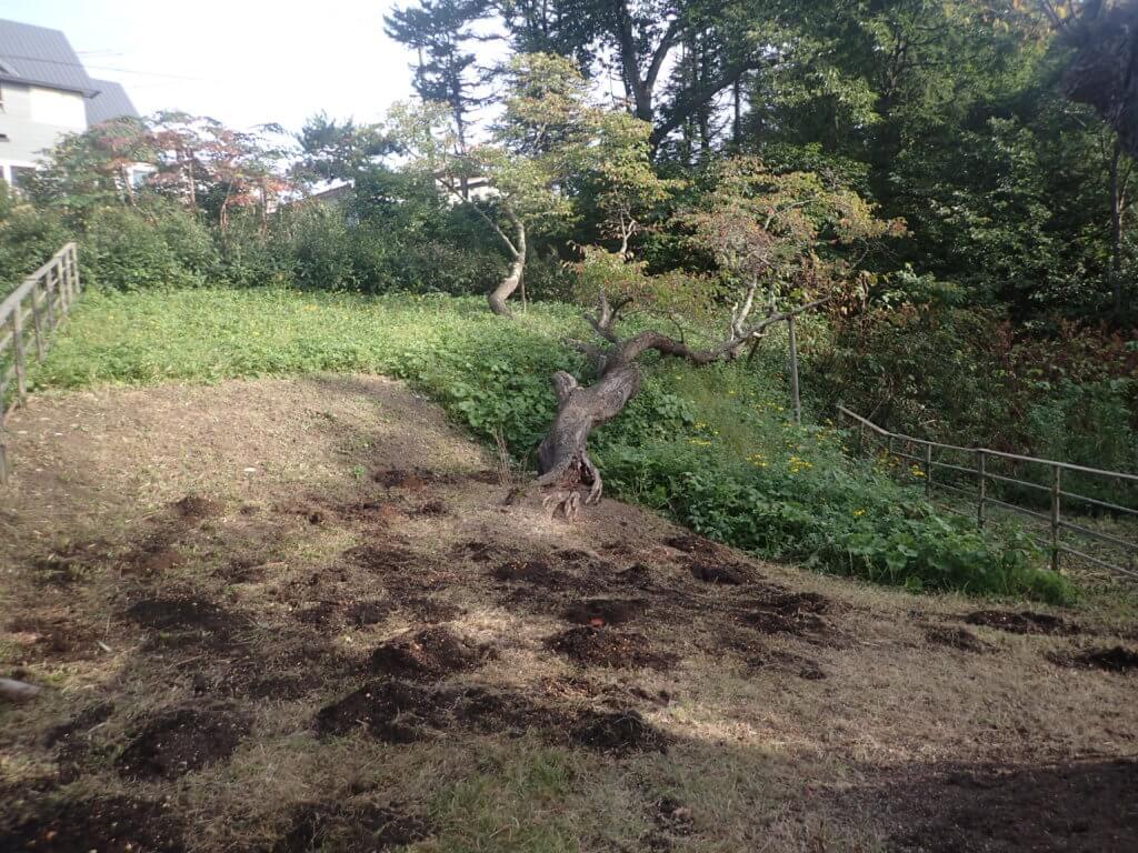 樹勢回復措置(土壌改良)後「臥竜の霞桜」の状況