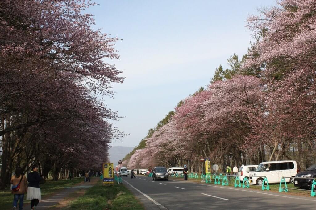 二十間道路桜並木の桜(金田正弘氏撮影2018年5月5日)
